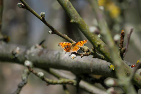 Polygonia c-album, the comma, is a food generalist (polyphagous) butterfly species belonging to the family Nymphalidae. , an intresting photo