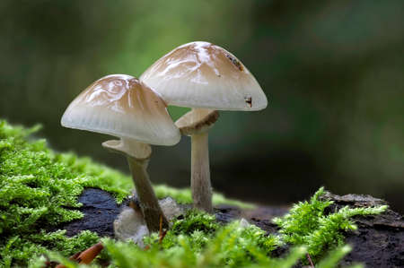 Oudemansiella mucida, commonly known as porcelain fungus, is a basidiomycete fungus of the family Physalacriaceae and native to Europe. , an intresting photo