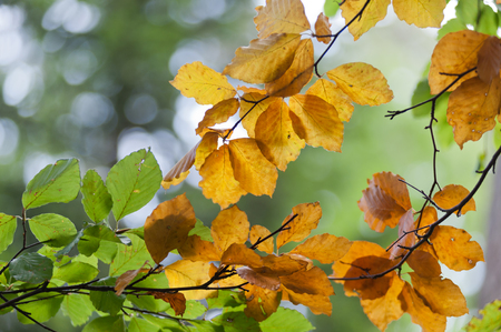 The first leafs are getting there autumn color