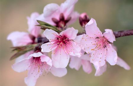 peach blossom: Flor de durazno.  Foto de archivo
