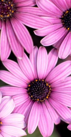african daisy: pink african daisy Stock Photo