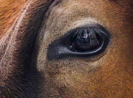Eye of a Holy Hong Kong Cow