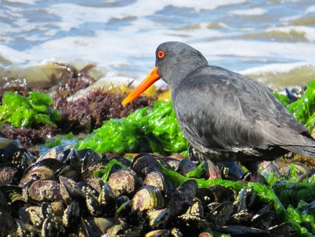 wade: Dinner time for the Oyster Catcher!