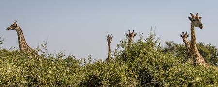 shrubbery: Giraffes in shrubbery