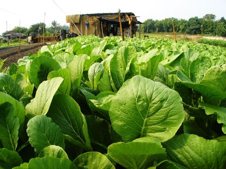 tropical vegetable farm photo