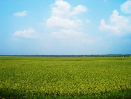 paddy field: paddy field with horizon