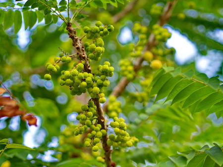 many of the Star Gooseberry on the Tree in Thailand Local Village with The Natural morning Light
