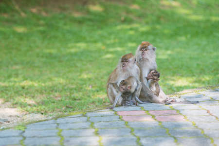 parental love: Two monkey parents carry their newborn babies at the botanical garden, Penang state of Malaysia