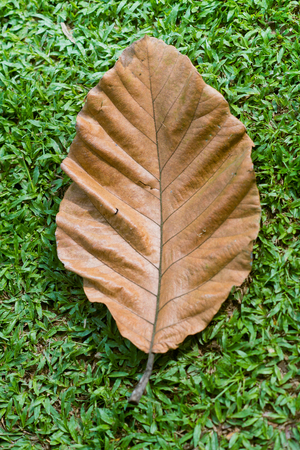 peepal tree: Brown dry leaf close up on the green grass background