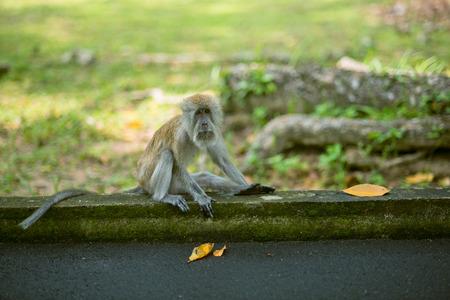 parental love: Monkey at the botanical garden, Penang state of Malaysia