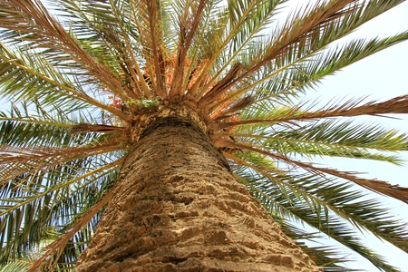 widespread: widespread palm tree.