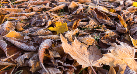 Beautiful autumn - lying leaves, covered with white hoarfost