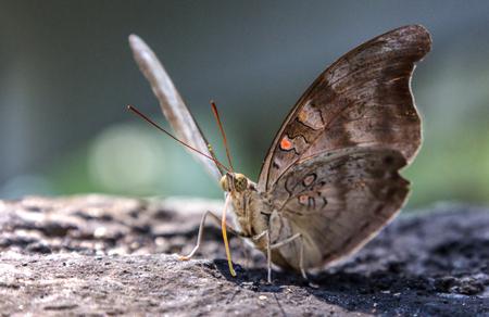Beautiful butterfly on a rock.