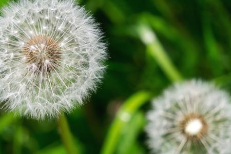 Dandelion close-up. Banque d'images