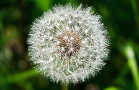 Dandelion close-up. Imagens