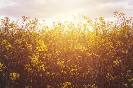 Blooming rape field.