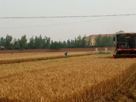 villager: June 11, 2016, agricultural hand control harvester of wheat in Shenxian city of Liaocheng, province Shandong.