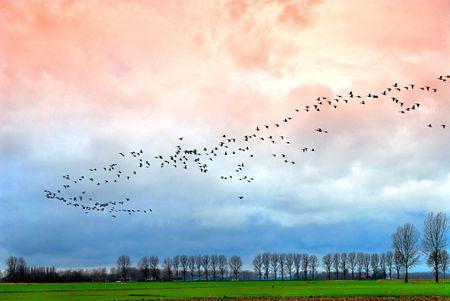 Gran grupo de ganso por encima del paisaje holandés por la noche de invierno