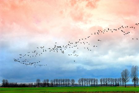 Large group of goose above Dutch landscape by winter evening