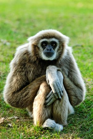 Whitehandgibbon (Hylobates lar) sitting and looking right in lens Stock Photo