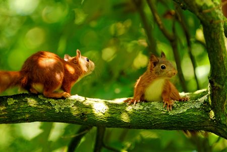 two young squirrels playing in a tree