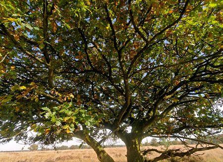 heathland: oak on heathland in autumn in Belgium