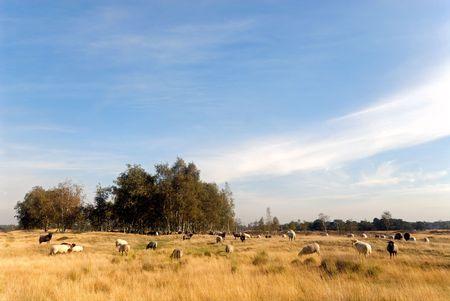 in herding: sheep herding on yellow and brown heathland  Stock Photo