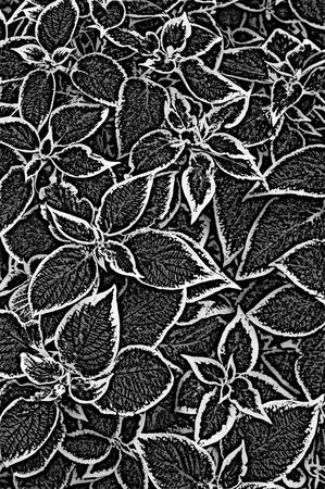 infra red: infra red black and white texture of nettle plant leaves Stock Photo