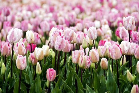 Endless field of pink to white speckled tulip flowers photo