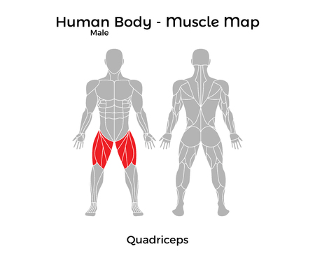 Male Human Body - Muscle map, Quadriceps. Vector Illustration - EPS10.