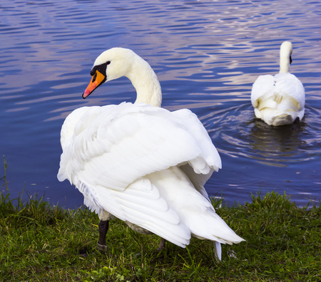 image of the lake and swans background