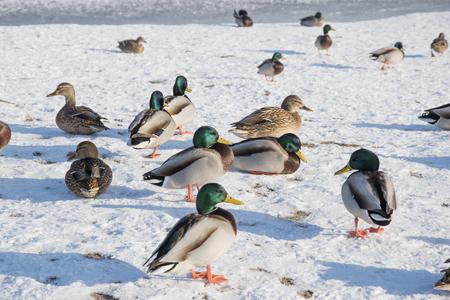 Duck on snow, ice. Wildlife of bird in winter photo