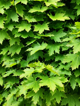 green leaves on the tree. a cluster of maple green plants Stok Fotoğraf