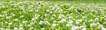 Clover Field. white Flowering clover Trifolium pratense repens. Lawn with white trefoil flowers and green grass. Fresh summer or spring background  in meadow Stock fotó