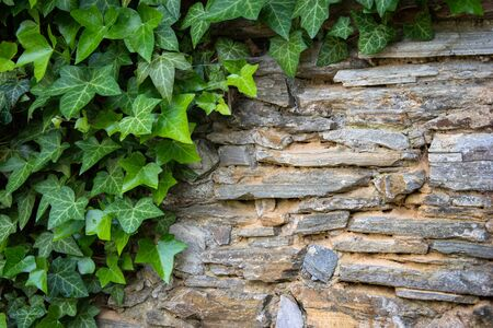 Stone wall with green ivy leaves with copy space for background or texture. Climbing plant, vine plant growing on antique rock wall.Retro style background. Green leaf plant over grunge old wall.