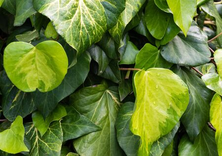 Ivy heart shape leaf wall close-up (Hedera).  symbol of love. green Sulphur heart leaves romantic background. growth foliage in nature. photography of climbing chain of ivy leaves in springtime.