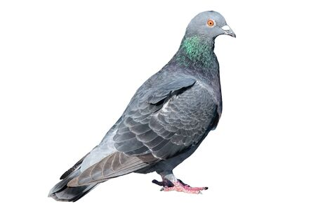Pigeon isolated on white background. Grey dove body portrait. wildlife of gray birdie. Concept of freedom elegance, faith and hope. close up photography of tranquil, free bird. Single standing animal.