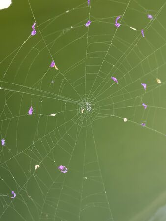 Spider Web with petals of purple flowers against green. beautifully woven, intricate, cobweb close up photo