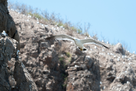 reproduction animal: seagull Stock Photo