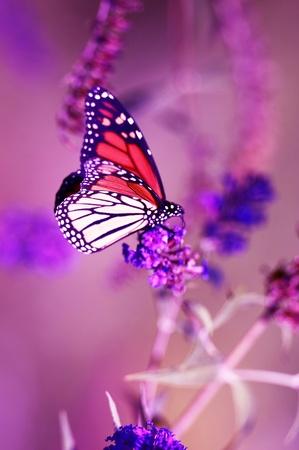 Vertical photographie de clôture du papillon monarque. Le monarque est un Danaidae de la famille des Nymphalidae.  Banque d'images - 10642982