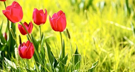 plants species: Tulipani Meadow. Prato primavera con tulipani rossi. Foto panoramica