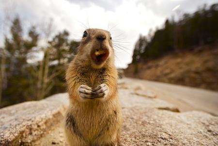 ardilla: Cena Chipmunk. Las ardillas son pequeñas ardillas rayadas Originaria de América del Norte y Asia. Cierre Fotografía Gran Angular de comer Chipmunk Foto de archivo