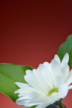 Flower with Green Leafs. Burgundy Background photo