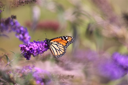 nymphalidae: Monarch Butterfly on Purple Flower. Horizontal Photo Stock Photo