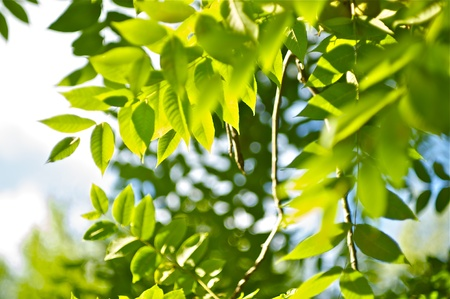 photosynthesis: Green Summer. Nature Background. Green Summer Leafes Photo Background. Stock Photo