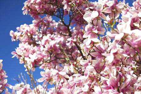 Magnolia X Soulangeana. Es un árbol de hoja caduca con grandes, flores de floración temprana en diversos tonos de blanco, Rosa y morado. Flor árbol de Magnolia. Hermosas flores rosadas de cielo azul. Ramas de Magnolia Flores. Foto de archivo - 10654772