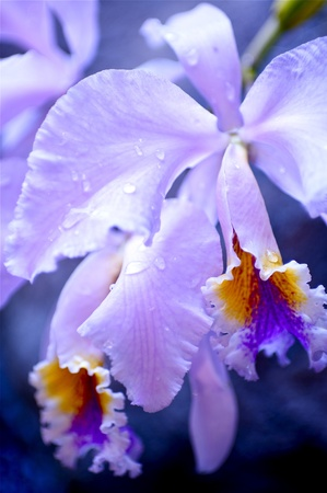 specie: Violet Blossom Tropical Flower. Blooming Jungle. Macro Nature Photo Collection. Unknown Specie. Stock Photo