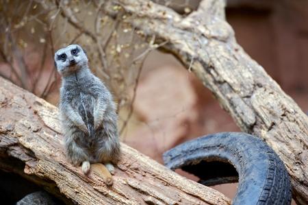 suricatta: The Meerkat or Suricate, Suricata Suricatta, is a Small Mammal Belonging to the Mongoose Family. Suricate on the Tree.