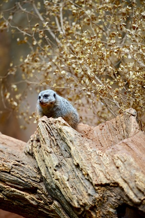 kalahari: Meerkat - Suricate on Tree. The Meerkat (or Suricate) is a Small Diurnal Herpestid Weighing on Average About 730 Grams. Meerkat Vertical Photography. Stock Photo