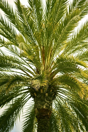 palm: Canary Palm Tree - California Nature. Palm Tree Background. Vertical Photo
